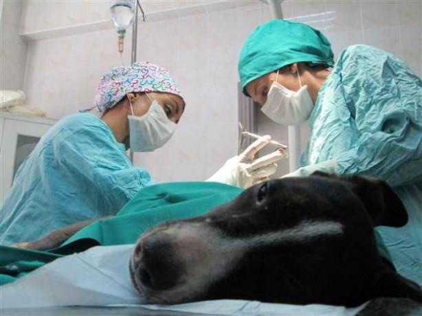 Sağlam kemiği kalmayan köpeği hayata döndürdüler