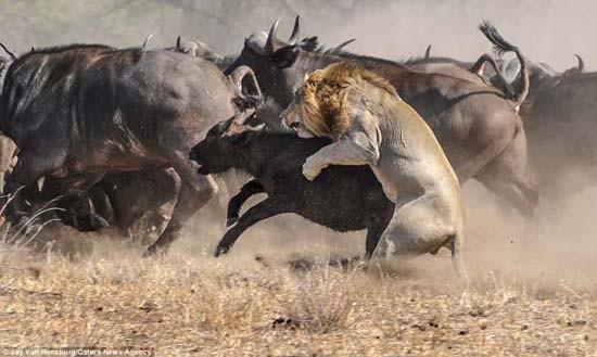 Aslanların bufalo avı hüsranla bitti