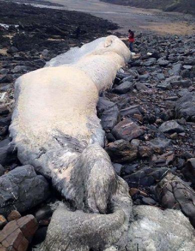 Devasa balina kalıntısı görenleri hayretlere düşürdü.