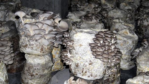 Bodrum katında kültür mantarı yetiştiriyor