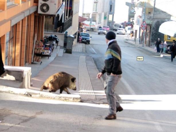 Yaban domuzu, şehre inince ortalık karıştı