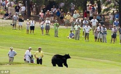 Ayı, golf sahasıan daldı !
