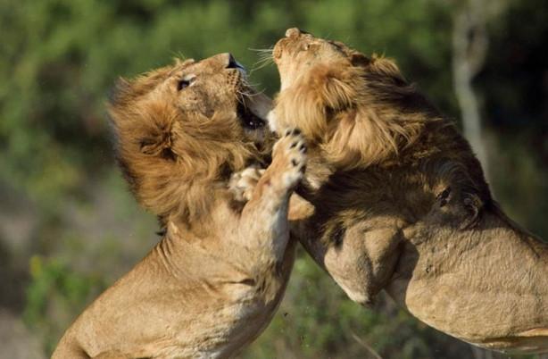 Aslanlar birbirlerine düştüler