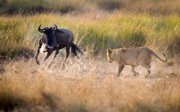 Yavru aslanlara ders verdi