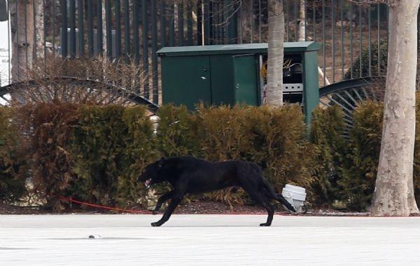 Saray'daki karşılamada köpek paniği