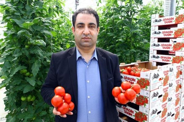 Eksi 35 derecede üretilen ilk salkım domatesler