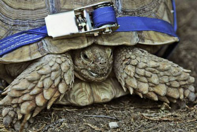 Tekerlek kaplumbağayı gaza getirdi