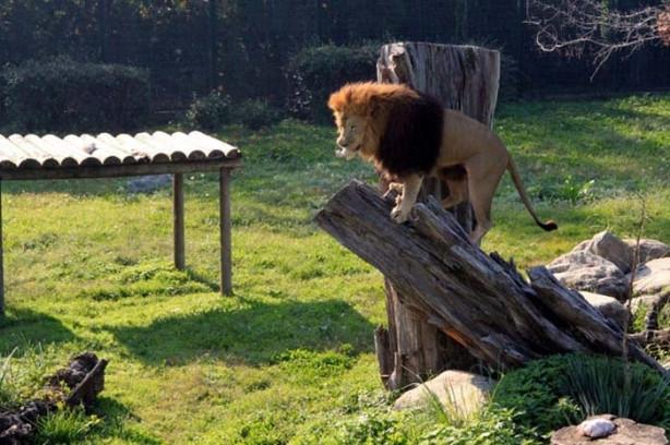 Aslanların müthiş yemek kavgası