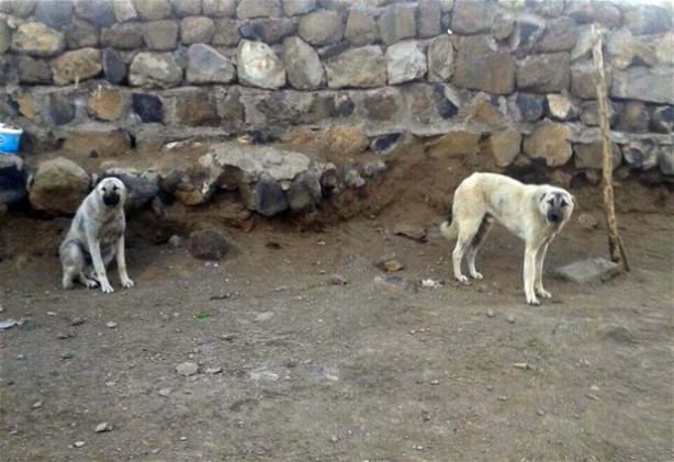 Köye İnen Kurdu Kangal Köpekleri Boğdu