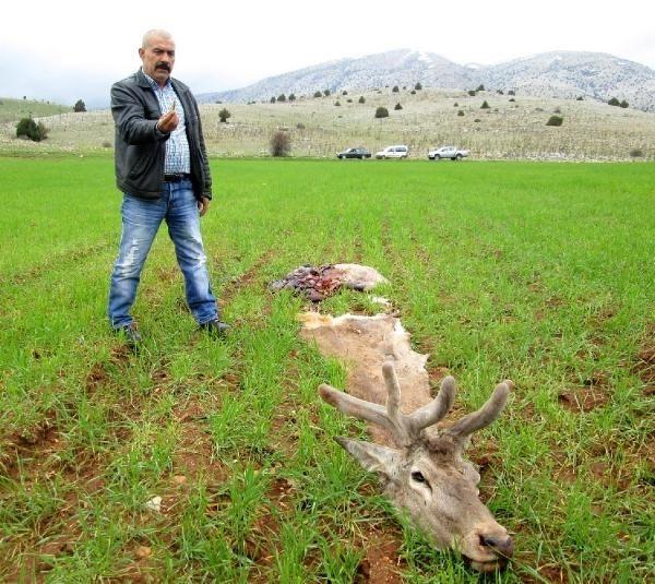 Kızıl geyikleri vurup etlerini aldılar!