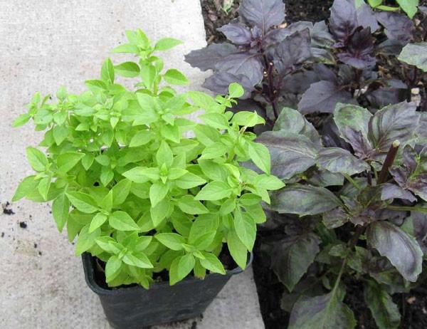 Mucize bitki fesleğenin faydaları
