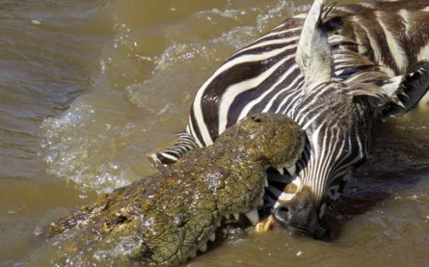 Zebraların timsahlarla korkunç mücadelesi