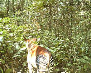 Okapi doğada ilk kez görüntülendi