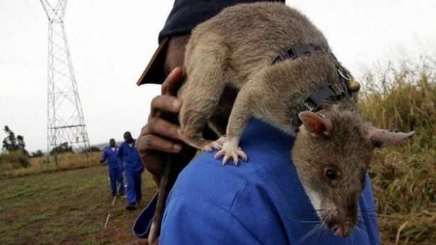 Binlerce insanın hayatını kurtaran fareler