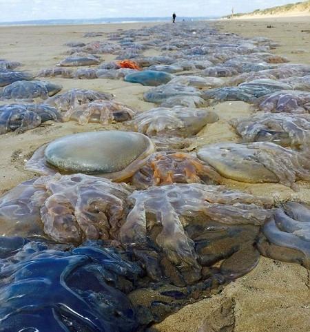 Britanya sahillerini dev denizanaları bastı