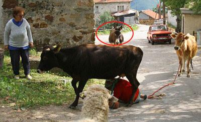 Sahibini inek sandı
