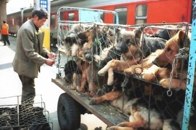 Tepki çeken festivalden 100 köpek kurtarıldı