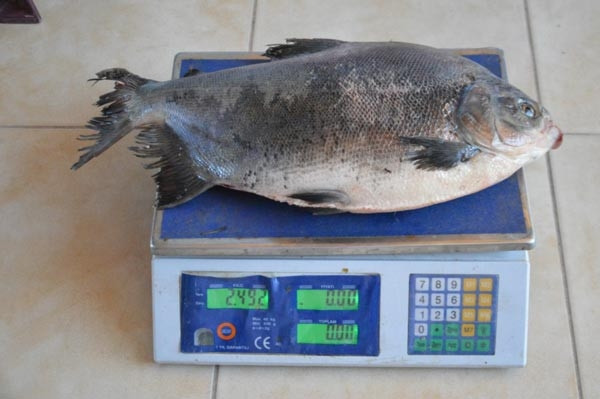 İznik Gölünde 2.5 kilo ağırlığında pirana avlandı
