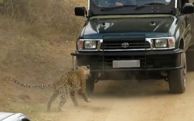 Saldırgan leoparı arabayla ezdiler