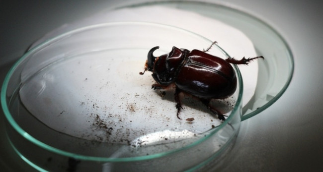 Gergedan böceği ne kadar