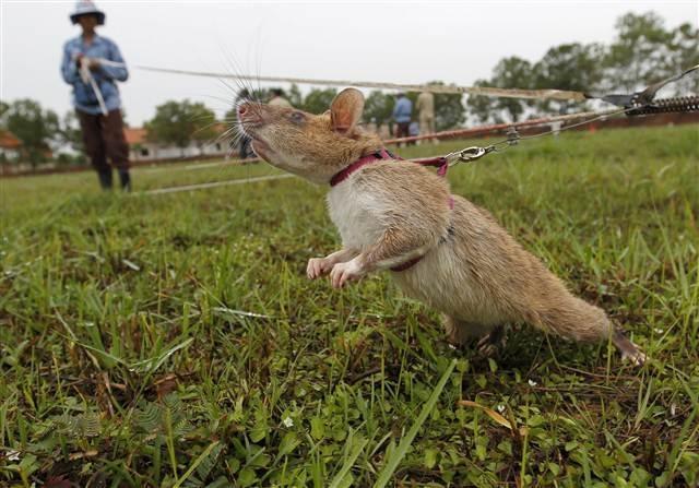 Dünyanın en yararlı fareleri