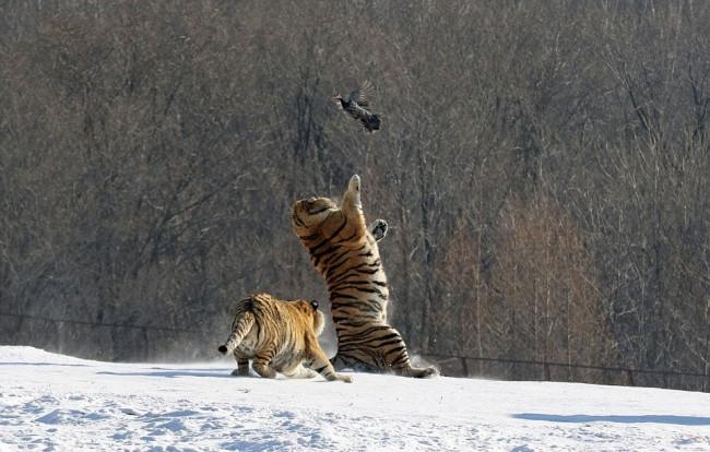 Kaplanlara canlı av...