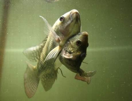Bu da yapışık ikiz balık