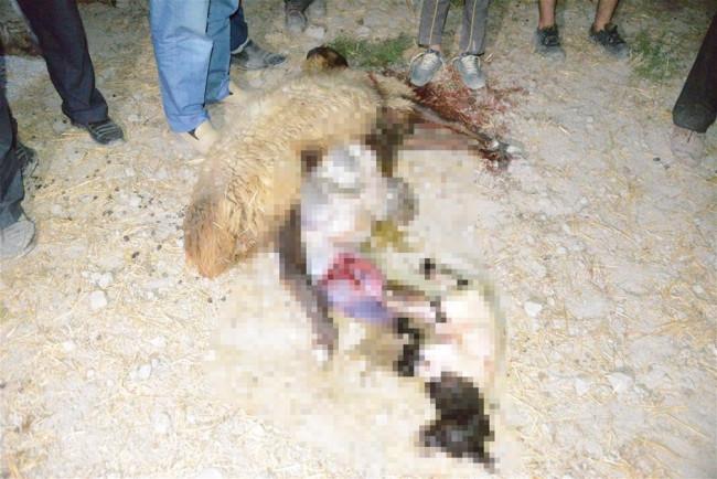 Zehirli yem verilen 300 koyun telef oldu