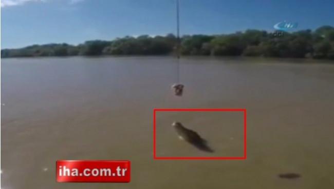 İnanmayacaksınız ama timsah kuyruğu ile suyun üstünde