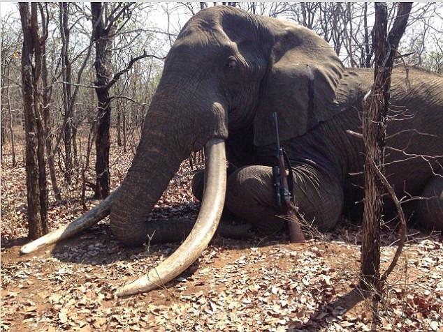 Afrika'nın en büyük filini öldürdü