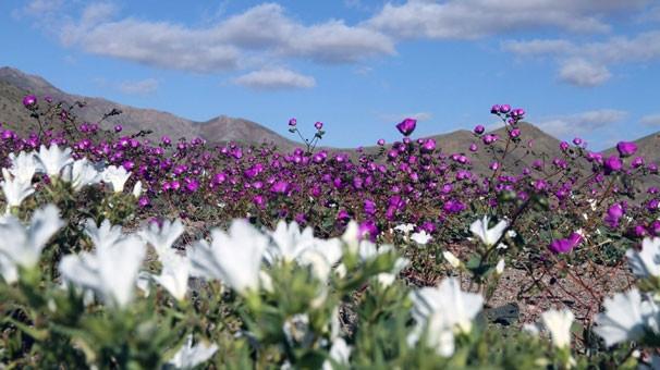 Dünyanın dengesi bozuldu! Çöl çiçek tarlasına döndü