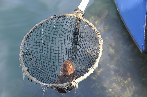 Fay hattının karayla buluştuğu bölgede balık ölümleri