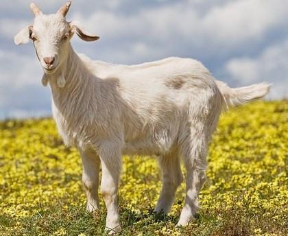 Keçi sütünün faydaları nelerdir?
