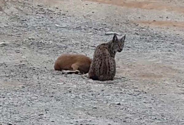 Vaşak, dağ keçisine böyle saldırdı