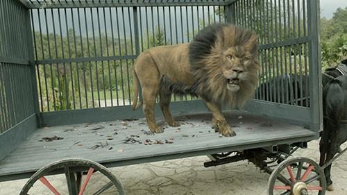 Muhteşem Yüzyıl Kösem'deki aslanın hikayesi