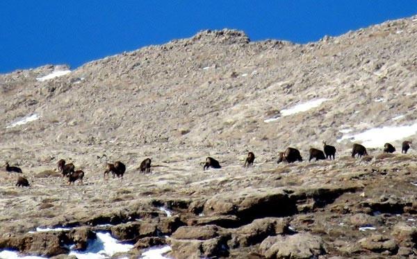 Tunceli'de dağcılar Şamuaları fotoğrafladı