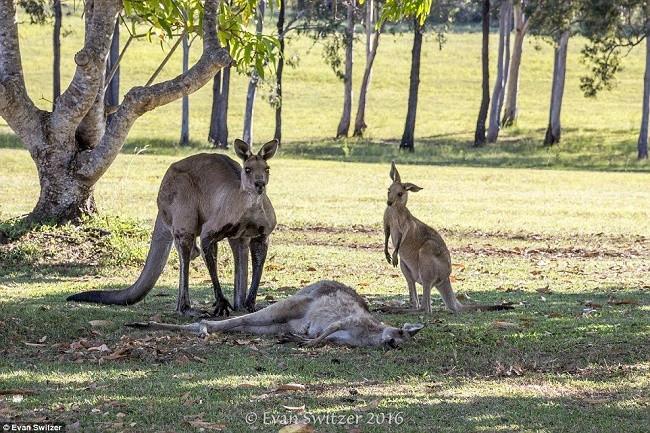 Anne kangurunun yürek burkan ölümü