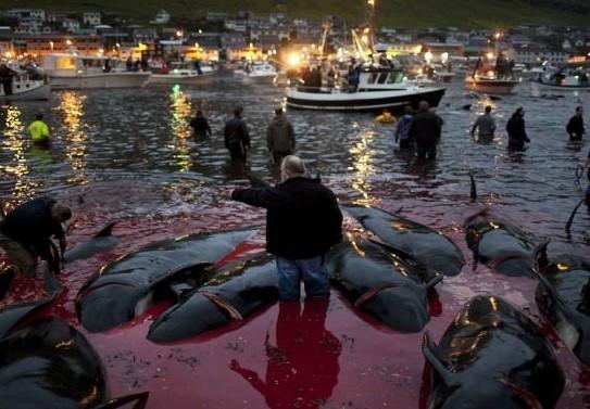 Faroe Adaları'nda balina vahşeti !