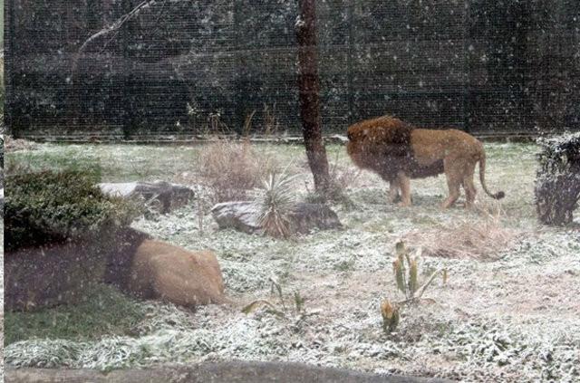 Aslanları karda böyle beslediler