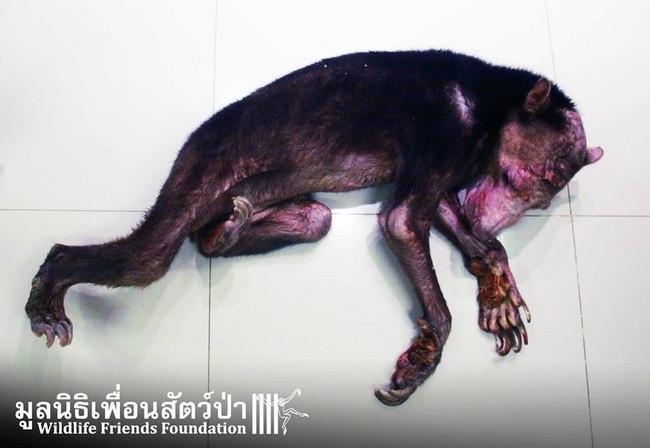 Güneş ayısı Kwan'ın içler acısı hikayesi