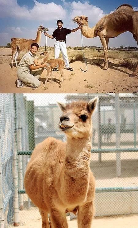 Daha önce görmediğiniz melez hayvanlar
