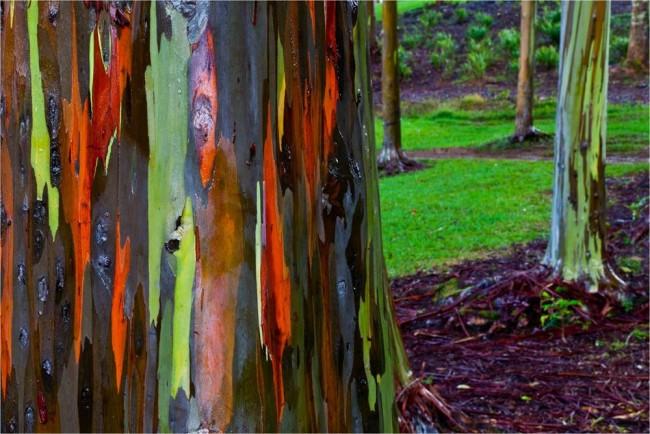 Dünyanın en ilginç ağacı Gökkuşağı Ağacı