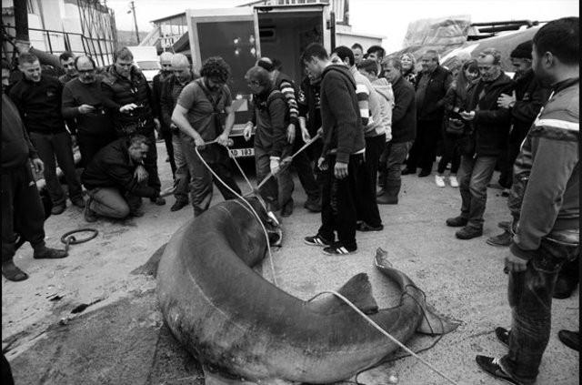 Marmara Denizi'nde köpek balığı