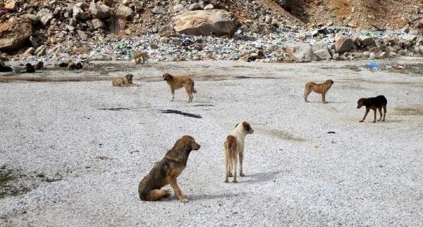 Yol kenarına bırakılan köpekler açlıktan ölüyor !