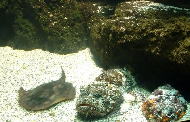 Panzehiri olmayan balık