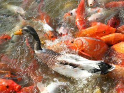 Ördek balıklardan zor kaçtı