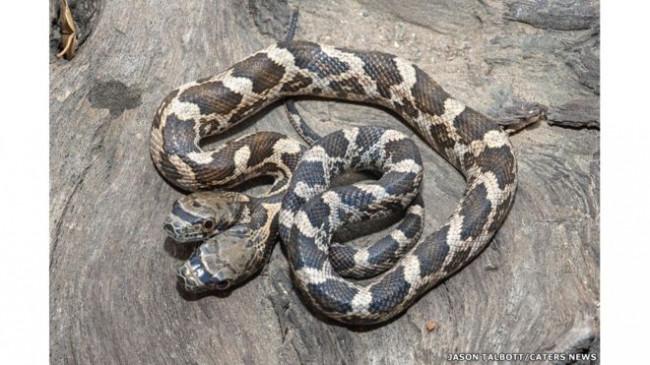 Çift başlı yılan mı olur ? Görenler inanamadı