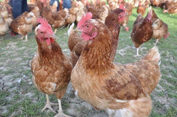 3 tavukla girdikleri işte markalaştılar !