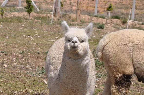 Türkiye'de bir ilk ! Alpaka deve çiftliği kurulacak