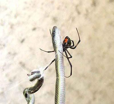Örümcek yılanı öldürdü